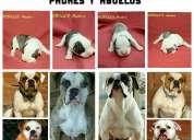 Cachorros american bulldog  bulldog americano