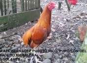 gallos de mucha finura