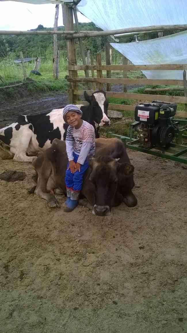 venta de vacas de leche varias razas