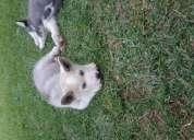 Cachorros husky en venta