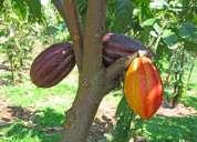 Vendo finca cacaotera de oportunidad ya en producción en quevedo interesados telf: 0997052846