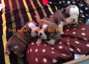 Bulldog inglés    para su adopción
