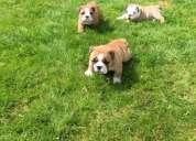 Inglés bull cachorros de perro