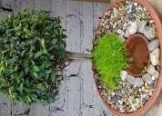 Oferta lindos bonsai