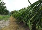 Plantaciones con cultivos de pitahaya roja-guanabana-mango-oportunidad