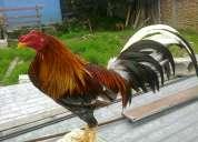 gallos finos de pelea