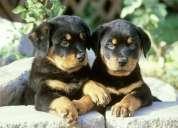 Hermosos cachorros rottwailer