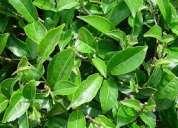 Venta de moringa el Árbol de la vida, té negro, flor de jamaica.