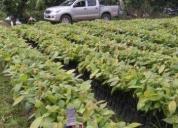 Oportunidad! plantas de cacao injerto ccn51