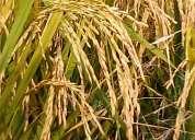 Vendo harina de arroz