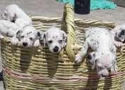 Perritos , mascotas , hermosos dalmatas cachorros