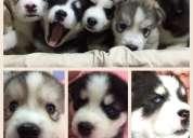Cachorros husky siberianos raza pura ojos azules