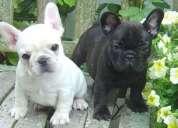 Los cachorros hermosos negro marrón y blanco en francés bulldog disponibles