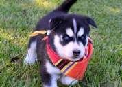 Lindo macho y hembra de husky siberiano cachorros ojos azules - maule