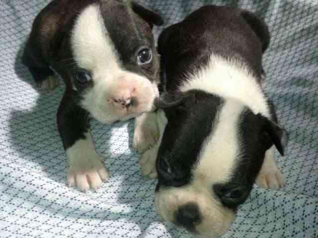 Los cachorros hermosos boston terrier