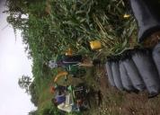 Venta de ensilaje de maíz  fundas de 45kilos