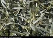 Hojas de olivo para infusion