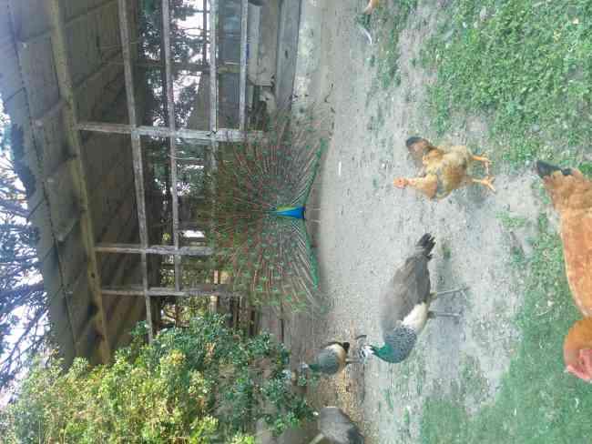 Vendo pavos reales azules