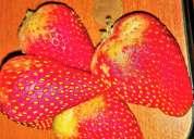 frutillas y aguacates muy buenos al por mayor
