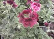 Se vende plantas ornamentales medicinales frutales