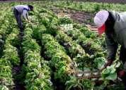 Cultivos hidroponicos ,un gran negocio e inversion el cultivffgjhgf