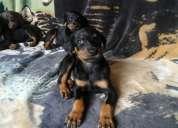 Vendo hermosos cachorros doberman puros