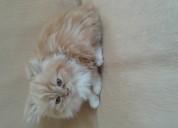 Gatitos persas cariñosos