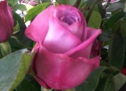 Venta de rosas al por mayor  y menor