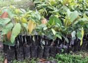Venta de plantas de cacao ramilla ccn51 y plantas de cacao injerto