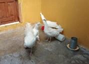 Pavos reales albinos