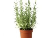 Plantas ortiga albhaca stevia