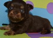 Mini juguetes chihuahua cachorros para la adopciÓn.