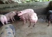 Venta de cerdos reproductores belgas genetica garantizada