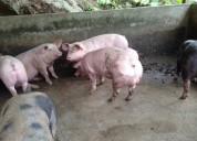 Venta de cerdos reproductores belgas genÉtica garantizada