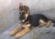 Hermosa cachorrita pastor aleman