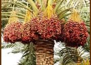Plantas de dátil muy rentable por  alto precio del fruto.