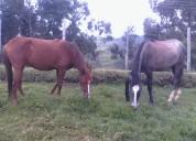 Vendo caballos muy dociles