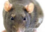 Telf 0981941777 control de plagas roedores insectos fumigaciones