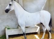 Vendo caballo colombiano trocha pura en manta