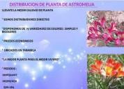 Distribuidores directos de paquetes de astromelia