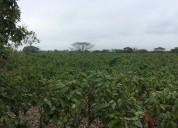 Finca de cacao ccn-51