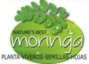 En venta viveros de guanabana y moringa ,hojas de