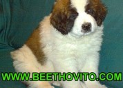 Cachorros san bernardo (perros beethoven) quito-ec