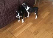 Lindo buscando boston terrier cachorros