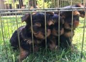 Cachorros de yorkshire registrados para rehoming