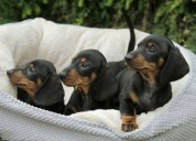 Cachorros dachshund de calidad kc registrado