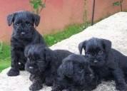 Gratis schnauzer miniatura cachorros