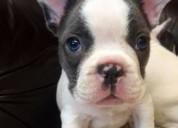 Bonito, sano, muy amable y lúdicas niño bulldog fr