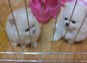 Los cachorros de pomerania gorgeous disponibles