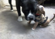 Se vende american staffordshire terrier